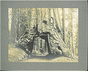 ANTIQUE PHOTO – GIANT REDWOOD DRIVE THROUGH. (Image1)