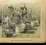 Click here to enlarge image and see more about item 1270: STEREOVIEW - MORNING START IN COTTON FIELD.