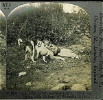Click here to enlarge image and see more about item 1305: STEREOVIEW - WWI - FRENCH RED CROSS DOG.