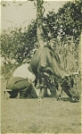Click here to enlarge image and see more about item 4104: CABINET PHOTO � ELSIE COCHRANE MILKS COW.