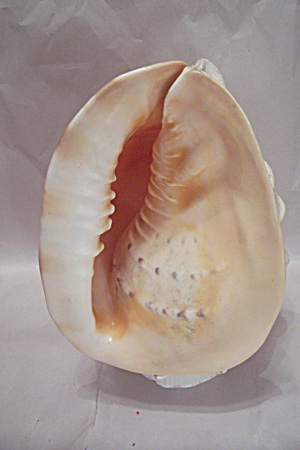 Conch Shell Night Life (Image1)