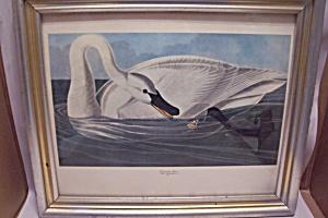 TRUMPETER SWAN Audubon Framed Art Print (Image1)