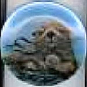'80 ANNUAL ENDANGERED SPECIES #1 California Sea Otters SADAKO MANO Hackett Amer (Image1)