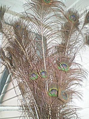 Peacock Feathers (Image1)