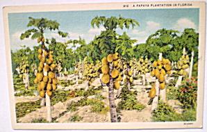 Papaya Plantation in Florida Vintage 1920  (Image1)