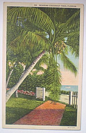 Vintage 1920 Postcard -  Cocoanut Tree, Florida (Image1)