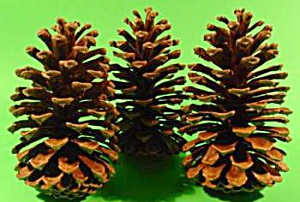 Large Southern Pine Cones - Ornaments and Decorations  (Image1)