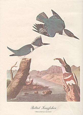 VINTAGE~1942~AUDOBON KINGFISHER PRINT (Image1)