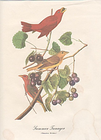 AUDOBON SUMMER TANAGER PRINT (Image1)