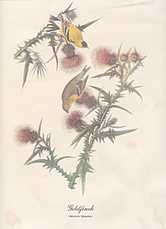 Audobon Goldfinch Color Print