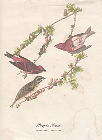 AUDOBON PURPLE FINCH PRINT (Image1)