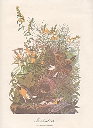 AUDOBON MEADOW LARK COLOR  PRINT (Image1)