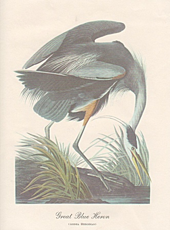 Audobon Great Blue Heron Color Print