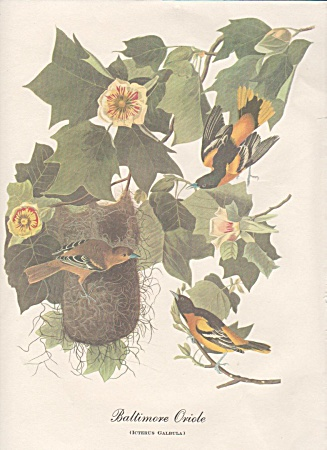 AUDOBON BALTIMORE ORIOLE COLOR PRINT (Image1)