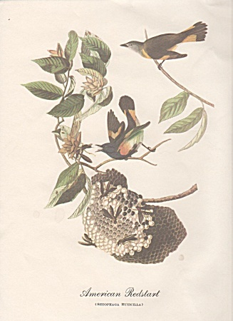 Audobon American Redstart Color Print