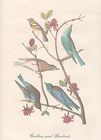 Vintage - Audobon - Warblers And Bluebirds Print