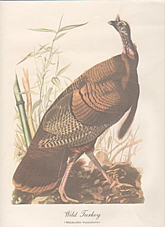AUDOBON WILD TURKEY PRINT (Image1)