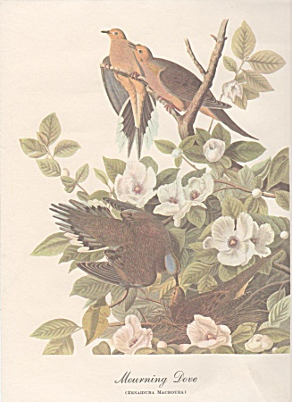 Audobon Mourning Dove Print