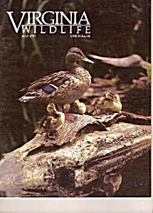 Virginia wildlife -  May 1987 (Image1)