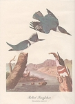 Click to view larger image of VINTAGE~1942~AUDOBON KINGFISHER PRINT (Image1)