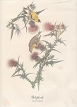 Click to view larger image of AUDOBON GOLDFINCH COLOR PRINT (Image1)