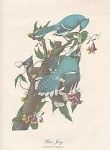 AUDOBON BLUE JAY COLOR  PRINT