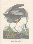 Click here to enlarge image and see more about item ABP10: AUDOBON  GREAT BLUE HERON COLOR  PRINT