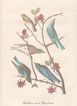 Click here to enlarge image and see more about item ABP17: VINTAGE~AUDOBON~WARBLERS and BLUEBIRDS PRINT