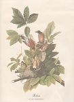 Click here to enlarge image and see more about item ABP18: VINTAGE~AUDOBON~ROBIN~PRINT