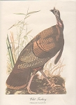 Click here to enlarge image and see more about item ABP01: AUDOBON WILD TURKEY PRINT