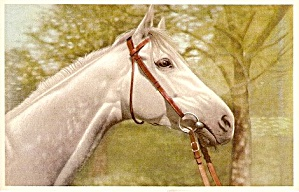 Great White Horse Head Vintage Postcard (Image1)