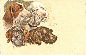 1909 Scottish/jack Russell Terriers Dogs Postcard