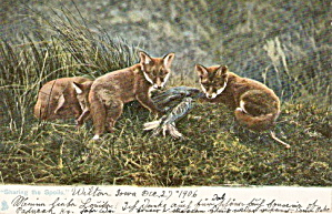 1906 Tucks 'sharing The Spoils' Foxes Postcard