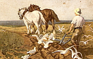 1907 Work Horses Farming with Seagulls Postcard (Image1)