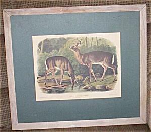 Vintage J.W. Audubon Virginian Deer Print (Image1)