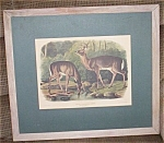 Click here to enlarge image and see more about item fla-1: Vintage J.W. Audubon Virginian Deer Print