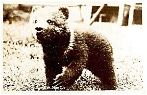 ALASKA: Kodiak Bear Cub Real Photo (Image1)