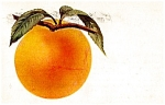 1916 Ripening Peach on Branch