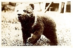 Click here to enlarge image and see more about item 5148: ALASKA: Kodiak Bear Cub Real Photo