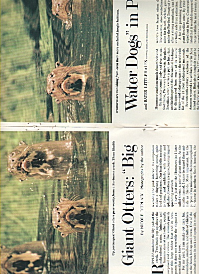 Giant Otters; Big Water Dogs In Peril 1980