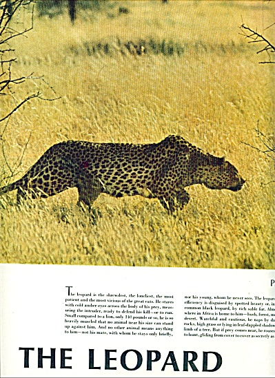 1967 -  The Leopard - Hunting story (Image1)