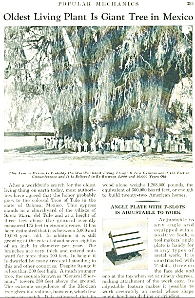 Oldest Living Giant tree  in Mexico  - 1934 (Image1)