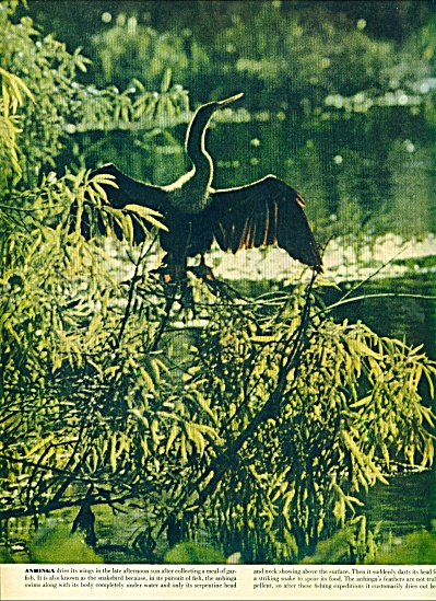 Florida Everglades story - pictures  1951 (Image1)