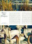 Click to view larger image of 1970 -  Trumpeter Swans soar back story (Image2)