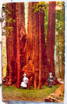 Click here to enlarge image and see more about item 1958: 1915 GIANT REDWOODS POSTCARD