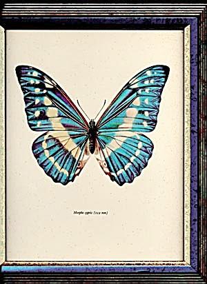 Vintage Framed Morpho Butterfly Print (Image1)