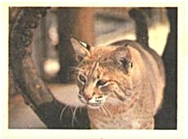 Cracker Jack Toy Prize:Endangered Species Stickers (Image1)