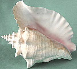 Pink Conch Shell (Image1)