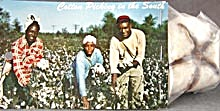 Cotton Picking In The South W/ Attached Boll Of Cotton