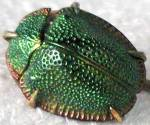 Click to view larger image of Vintage Egyptian Revival Real Scarab Beetle Stick Pin (Image1)
